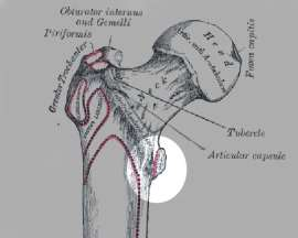 Where does the psoas attach? To the lesser trochanter, a knob on the inside of the femur, shown here in the circle.